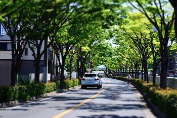 西蔵町、宮川沿いのケヤキ並木