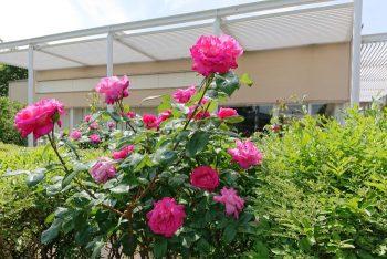 芦屋市総合公園のバラ